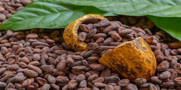 تهیه دانه خام کاکائو